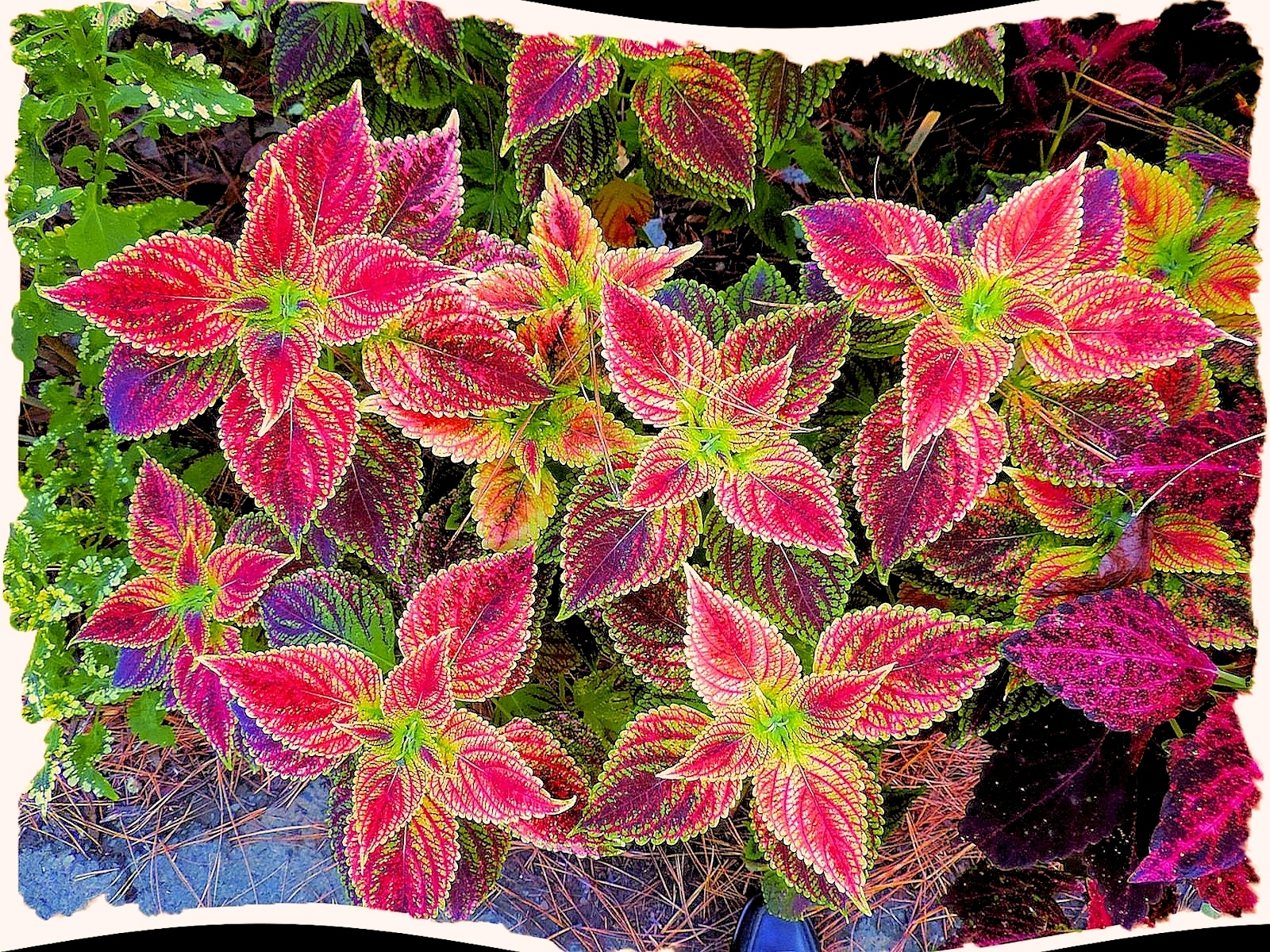 color patterns in the leaves of a coleus plant in the shade garden, Natural flower